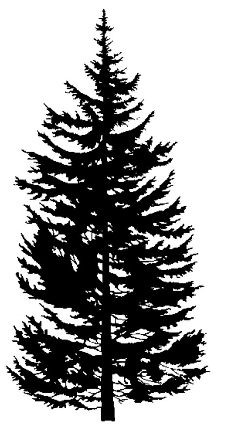 rocky mountain douglas fir