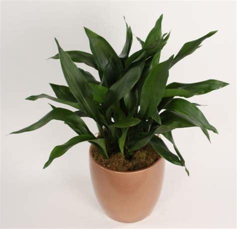 Zimmerpflanzen Dunkle Standorte by Zimmerpflanzen F 252 R Dunkle R 228 Ume