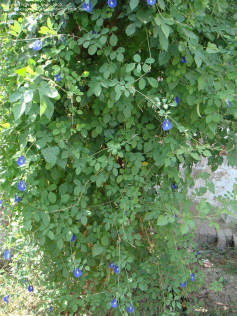 Blus Vinzo plantfiles pictures butterfly pea blue pea vine clitoria ternatea by cactus lover