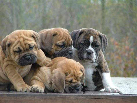 images of bulldog puppies bulldogs puppies pictures pet collection world