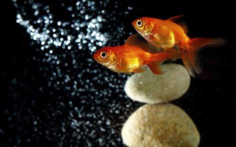 goldfish hd wallpaper goldfish full hd wallpaper and background 2560x1600 id
