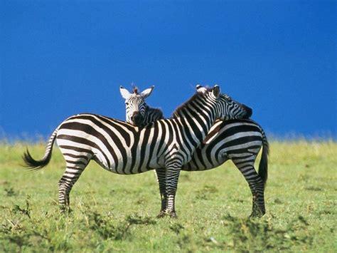 Animal Zoo Life:  Zebra pics Zebras Zebra Pictures of ...