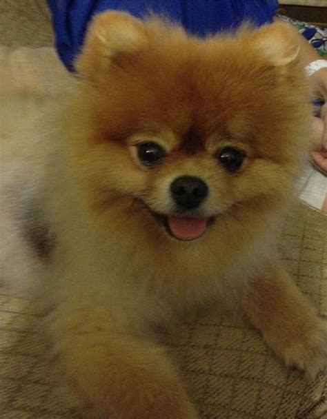 i want a pomeranian 17 best images about pomeranians on cutest dogs westminster show and