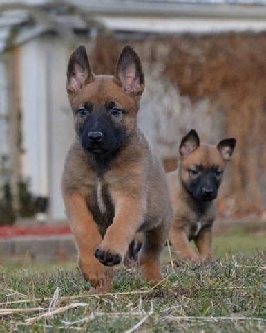 belgium malamute puppy 1000 ideas about malinois puppies on belgian malamute belgian malinois