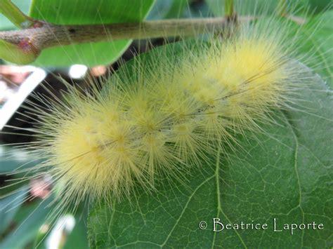 Caterpillar Yellow virginian tiger moth or yellow woolybear moth spilosoma