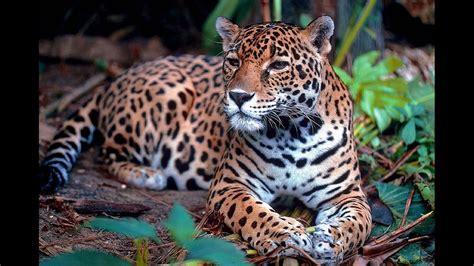 facts about jaguar jaguar facts and figures