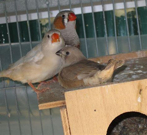 uccellini da gabbia uccelli da gabbia diamante mandarino