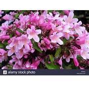 Related Keywords &amp Suggestions For Kolkwitzia Beauty Bush
