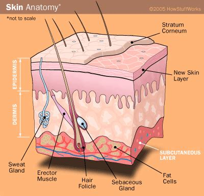 skin diagram great article on acne diet connection by nutrition