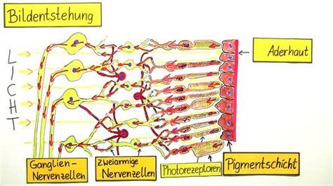 wann anfangen fürs abi zu lernen bildentstehung auf der netzhaut biologie lernen