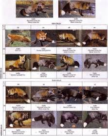 color morph are these arctic fox or fox color phases page 5