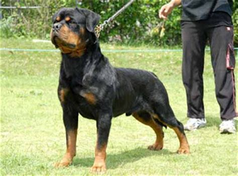 rottweiler tips for rottweiler rottweiler tips rottweiler how to treat breeds picture