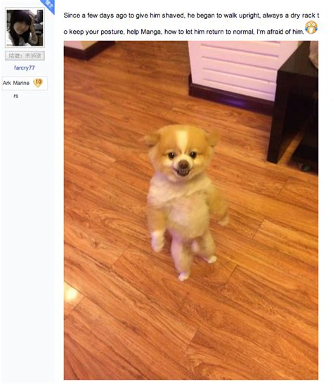 bad pomeranian pomeranian walks around on hind legs for two days in protest of bad haircut