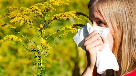 Allergies Today Ragweed Hay Fever Why Fall Allergies May Become Worse