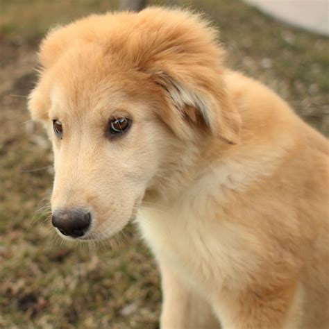 mixed golden retrievers dogs pets golden retriever husky mix dogs and puppies