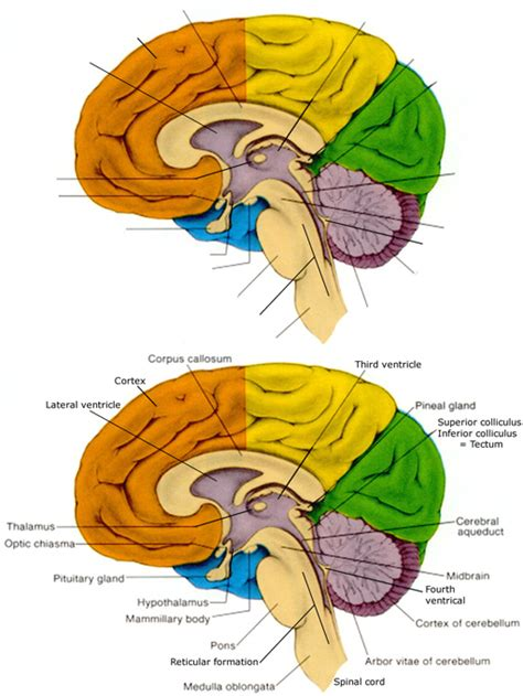 midsagittal section of brain imgs for gt midsagittal section of brain