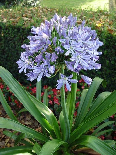 fiore agapanthus agapanthus agapanthus bulbi