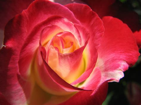 Fire And Ice Roses |Rose Wallpapers Fire And Ice Roses