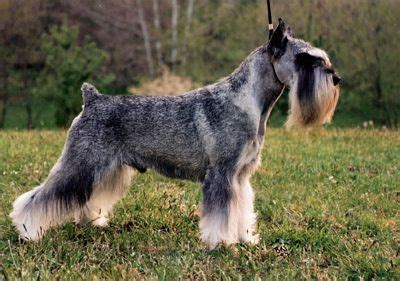 standard schnauzer puppies ohio 89 best images about grooming on