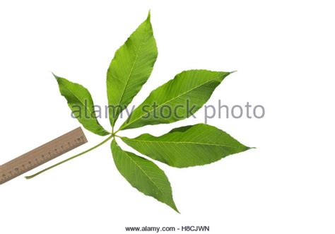 gelbe le yellow buckeye aesculus flava stock photos yellow