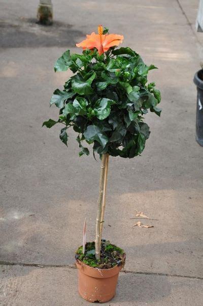 Zimmer Hibiskus Schneiden by Hibiskus Zimmerpflanze Kaufen Hibiskus Hibiscus Rosa