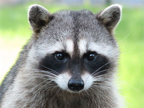 What To Do If A Raccoon Is In Your Backyard by Tips For Preventing Raccoons From Invading Your Home This