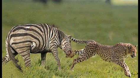 angry attacks angry zebra attack cheetah prey deadly fights back