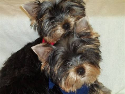 teacup yorkies for sale in detroit michigan adorable and yorkie puppies ready for a new home they are breeds picture