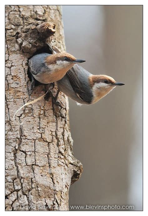 brown headed nuthatch pair nature bird watching