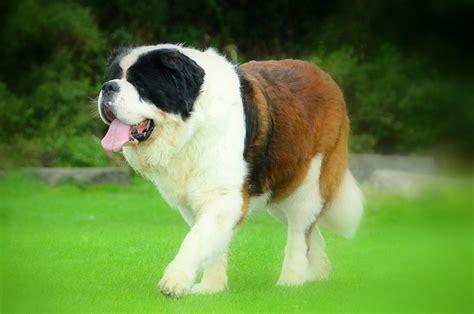 dieta para san bernardo fotos de san bernardo perros webanimales com