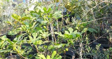Bibit Buah Tin Surabaya oriflame kebun pohon tin kini ada di surabay