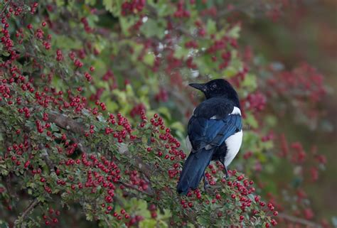 what can a bird do what do birds eat birds and berries the rspb