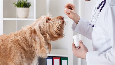phenobarbital side effects dogs phenobarbital for dogs uses dosage side effects dogtime