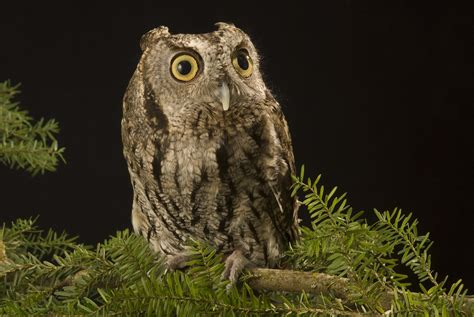western screech owl oregon zoo