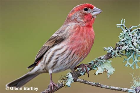 house finch bird house finch carpodacus mexicanus north american birds