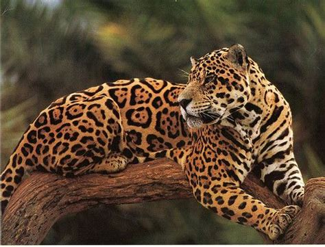 jaguar pattern house cat jaguar coat pattern gorgeous big cats pinterest