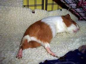 Bedding For Guinea Pigs by Best 25 Guinea Pig Bedding Ideas On Guinea