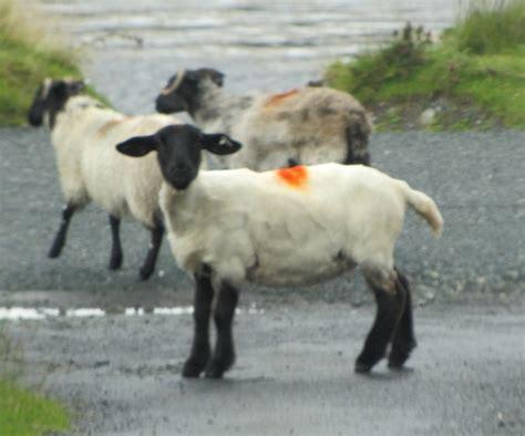 images  ireland irish sheep  pinterest