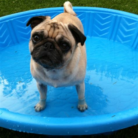 how are pugs in heat pug in a pool 2012 missouri heat wave