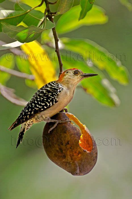 especies de pajaros silvestres pajaros de nuestros cos 1365 best images about venezuela on pinterest