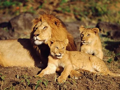 imagenes leones cazando fotos de leones