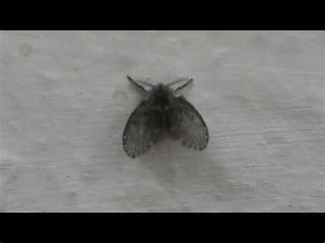 Sink Drain Flies by Drain Fly Drain Flies Sink Flies Moth Flies Or