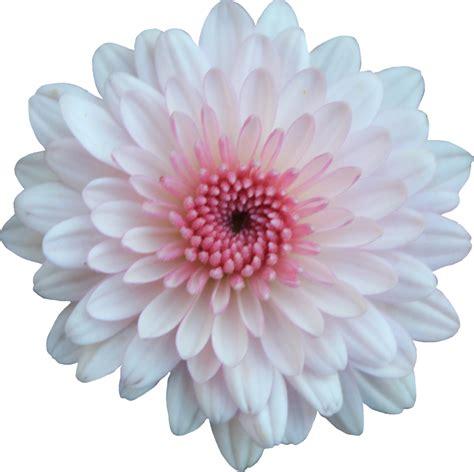 mum flower arrangement pink jpeg pink and white by thy darkest hour on deviantart