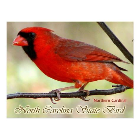 state bird of north carolina north carolina state bird northern cardinal postcard