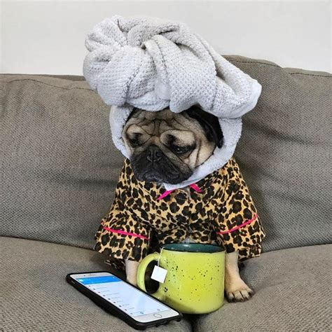 pretty pugs of 297 best images about puggy jokes on puppys pug and pug
