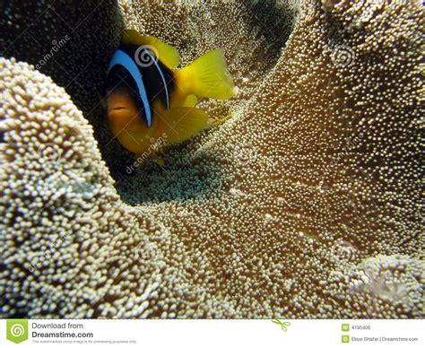 Teppich Koralle by Clownfish Auf Teppich Koralle Stockfoto Bild 4195406