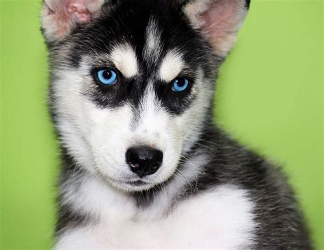 wolf husky puppies with blue eyes husky puppies with blue eyes awesome pet pinterest