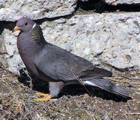 file patagioenas fasciata san luis obispo california