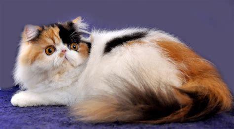 Sho Khusus Kucing Anggora merawat bulu