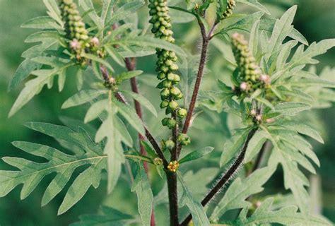ambrosia umweltbundesamt